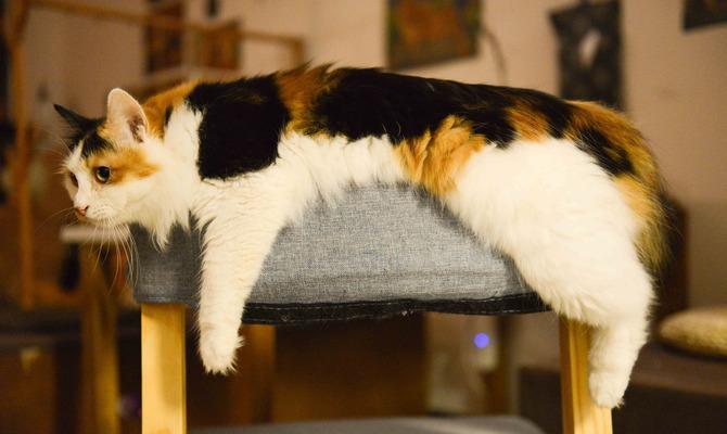 Ожирение животных кошка