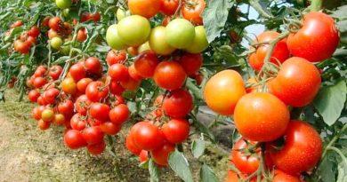 Полив и подкормка томатов